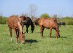 bigstock-Horses-Graze-In-The-Pasture-P-1841313492